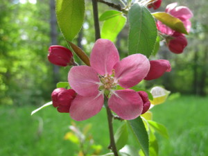 Apple blossom in one of the two beautiful old, craggy apple trees in the front yard.