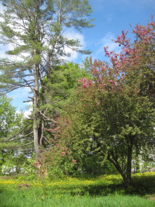 White Pine,  Sugar Maple (in the rear),  and Apple tree in bloom, behind the house.