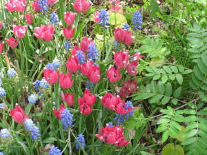 Late may, 2014 - some flower bulbs, muscari and small species tulips, in bloom